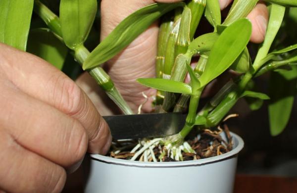 Как размножить дендробиум в домашних условиях видео