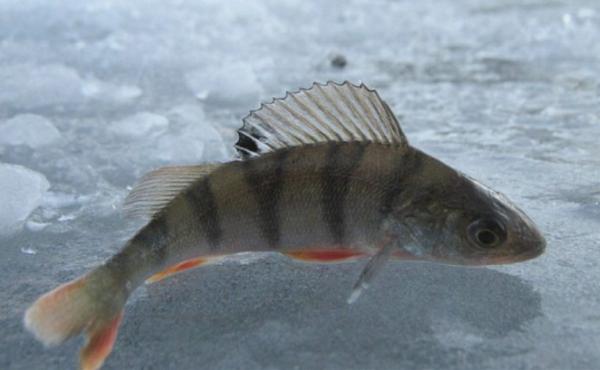 какая рыба ловится зимой в мещерском пруду