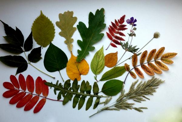 Картинки гербарий из осенних листьев