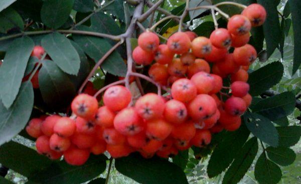 ягоды рябины красной лечебные